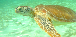 Sea turtles Farmers Cay Exuma